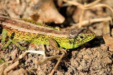 Free Reptile, Lizard, Lacertidae, Scaled Reptile Royalty Free Stock Image - 115287416