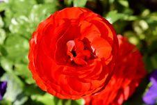 Free Flower, Petal, Close Up, Floribunda Royalty Free Stock Photo - 115287535