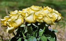 Free Flower, Rose Family, Rose, Yellow Royalty Free Stock Photography - 115287617