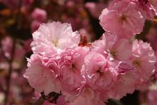 Free Flower, Pink, Blossom, Cherry Blossom Royalty Free Stock Photography - 115287647