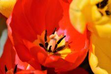 Free Flower, Red, Yellow, Orange Royalty Free Stock Photos - 115287668