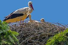 Free Bird, Stork, White Stork, Ecosystem Stock Photography - 115287702