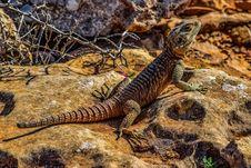 Free Reptile, Scaled Reptile, Fauna, Lizard Royalty Free Stock Image - 115287766