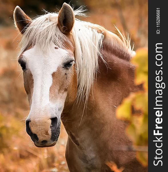 Horse, Mane, Horse Like Mammal, Mustang Horse