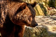 Free Brown Bear, Grizzly Bear, Mammal, Bear Royalty Free Stock Photo - 115315355