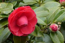 Free Flower, Plant, Japanese Camellia, Flowering Plant Royalty Free Stock Photo - 115315485