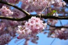 Free Blossom, Pink, Flower, Cherry Blossom Stock Photo - 115315500