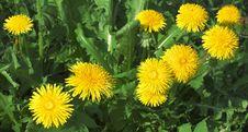 Free Flower, Dandelion, Sow Thistles, Plant Stock Image - 115315611