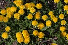 Free Flower, Dandelion, Plant, Sow Thistles Stock Image - 115315651