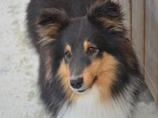 Free Dog, Dog Like Mammal, Scotch Collie, Rough Collie Stock Photography - 115315662