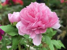 Free Flower, Plant, Pink, Peony Stock Images - 115315704