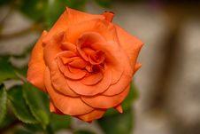Free Flower, Rose, Rose Family, Floribunda Royalty Free Stock Images - 115315709