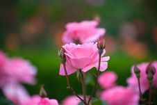 Free Flower, Rose, Rose Family, Pink Stock Images - 115315804