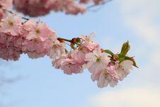 Free Blossom, Flower, Pink, Cherry Blossom Stock Photos - 115315933