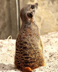 Free Meerkat, Mammal, Terrestrial Animal, Fauna Royalty Free Stock Images - 115316109