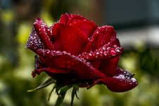 Free Rose Family, Floribunda, Rose, Garden Roses Stock Image - 115316181