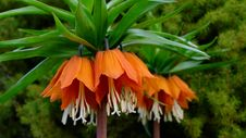 Free Flower, Plant, Crown Imperial, Fritillaria Stock Photos - 115316213