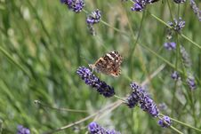 Free English Lavender, Lavender, Butterfly, Flower Royalty Free Stock Photo - 115316255