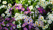 Free Flower, Plant, Flowering Plant, Primula Stock Photography - 115316342
