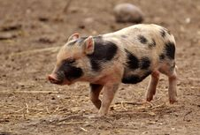 Free Pig Like Mammal, Pig, Domestic Pig, Mammal Stock Images - 115316394