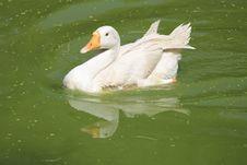 Free Bird, Duck, Water Bird, Water Stock Image - 115316411