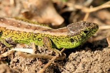 Free Reptile, Lizard, Lacertidae, Scaled Reptile Royalty Free Stock Photo - 115316525
