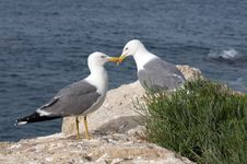 Free Bird, Seabird, Gull, European Herring Gull Stock Image - 115316571
