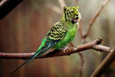 Free Bird, Common Pet Parakeet, Parakeet, Parrot Royalty Free Stock Image - 115316596