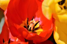 Free Flower, Red, Yellow, Orange Royalty Free Stock Images - 115316649