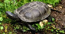 Free Tortoise, Emydidae, Turtle, Terrestrial Animal Royalty Free Stock Photography - 115316807