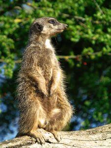 Free Meerkat, Mammal, Fauna, Terrestrial Animal Stock Images - 115316874