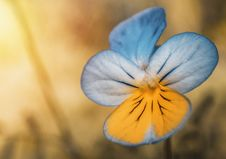 Free Closeup Photography Of Blue And Yellow Pansy Flower Royalty Free Stock Image - 115423406