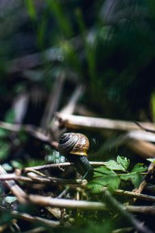Free Brown Snail On Twig Stock Image - 115423581
