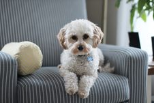 Free White Shih Tzu Puppy On Fabric Sofa Chair Royalty Free Stock Photography - 115423647