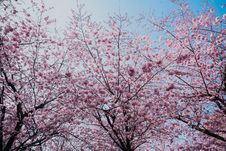Free Cherry Blossom Tree Royalty Free Stock Photography - 115423727