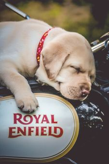 Free Yellow Labrador Retriever Puppy On Black And White Motorcycle Stock Photos - 115483553
