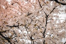 Free Photography Of Cherry Blossom Royalty Free Stock Photography - 115483617