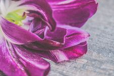 Free Purple And White Tulip Flower In Closeup Photo Stock Images - 115483664
