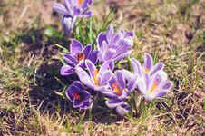 Free Close-up Photo Of Purple Saffron Crocus Stock Images - 115483754