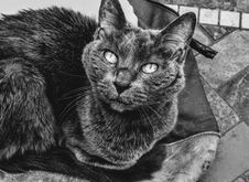 Free Grayscale Photography Of Cat Stock Photography - 115483772