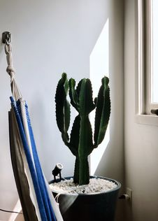 Free Green Cactus Plant Near Window Stock Photography - 115483792