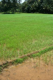 Free Rice Fields Royalty Free Stock Images - 11555599