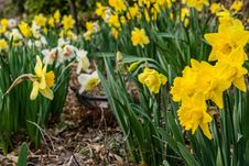 Free Field Of Yellow Daffodils Stock Photography - 115550092