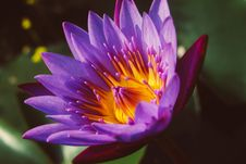 Free Close-up Photography Of Water Lily Royalty Free Stock Photography - 115550157