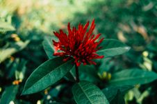Free Selective Focus Photography Of Red Ixora Flower Buds Royalty Free Stock Image - 115550166