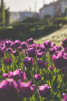 Free Close-Up Photography Of Purple Tulips Stock Images - 115550214