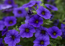 Free Close-Up Photography Of Purple Petunia Flowers Stock Photography - 115550232