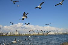 Free Seagulls Under Blue Skies Stock Photos - 115550423