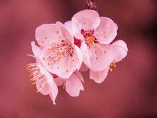 Free Selective Focus Photography Of Pink Cherry Blossom Flower Royalty Free Stock Image - 115628196