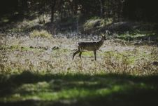 Free Photography Of Deer In The Field Royalty Free Stock Images - 115628319